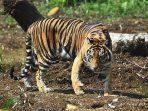 Harimau Sumatera (Foto:Istimewa)